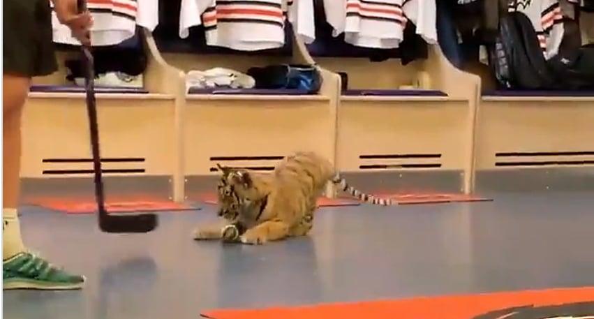 Video: KHL julkaisi söpön tiikerivideon -